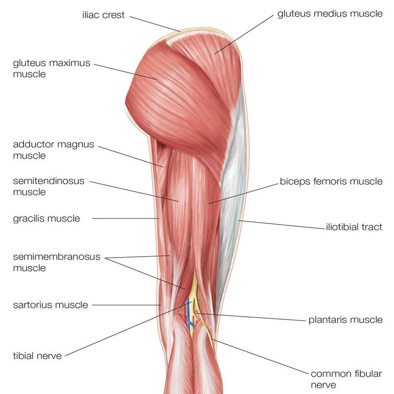 Posterior View Of The Muscles Of The Hip Thigh And Lower Leg Wall