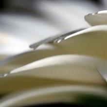 Silver Tipped Gerbera Petals