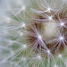 Dandelion (Taraxacum officinale) seed head showing achenes, Bavaria, Germany
