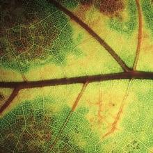 European Beech (Fagus sylvatica) detail of leaf showing venation, Europe