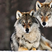 Gray Wolf (Canis lupus) pair in the snow, Norway