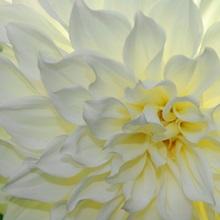 A close up of a white dahlia flower