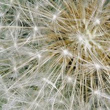A close view of the fruiting mass of the common dandelion, in bright sun