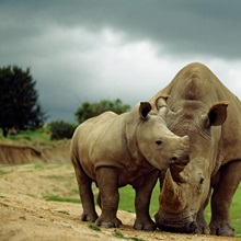 A mother and baby rhinoceros at the San Diego Wild Animal Park, California
