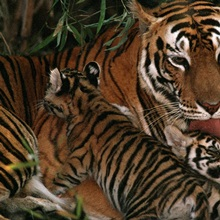 A mother tiger bathes her cubs, Bandhavgarh National Park, Madhya Pradesh State, India