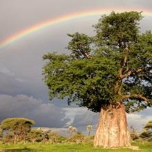 A rainbow over a baobab tree