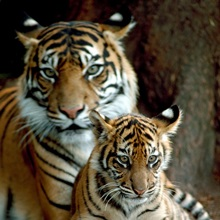 A Sumatran tiger cub rests on his mother's huge paw, Victoria, Australia