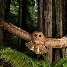 A tagged northern spotted owl in a redwood forest