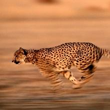 An African cheetah sprinting at top speed, Okavango Delta, Botswana, Africa