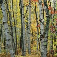 An autumn view of a birch forest in Michigan's Upper Peninsula