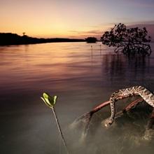 An eastern diamondback rattlesnake rests on a mangrove tree, Everglades National Park, Florida