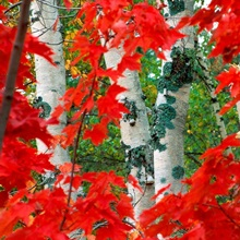 Autumn red maple leave frame the trunks of birch trees, Upper Peninsula, Michigan