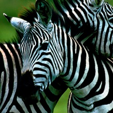 Burchell's zebra, Great Rift Valley, Tanzania
