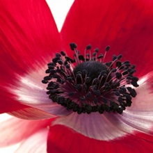 Close up of a red anemone flower