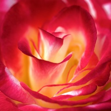 Close up of the red tinged white petals of the Dream Come True rose