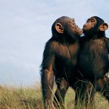 Fast friends, a pair of orphan chimpanzees, Tchimpounga Sanctuary, Republic of the Congo
