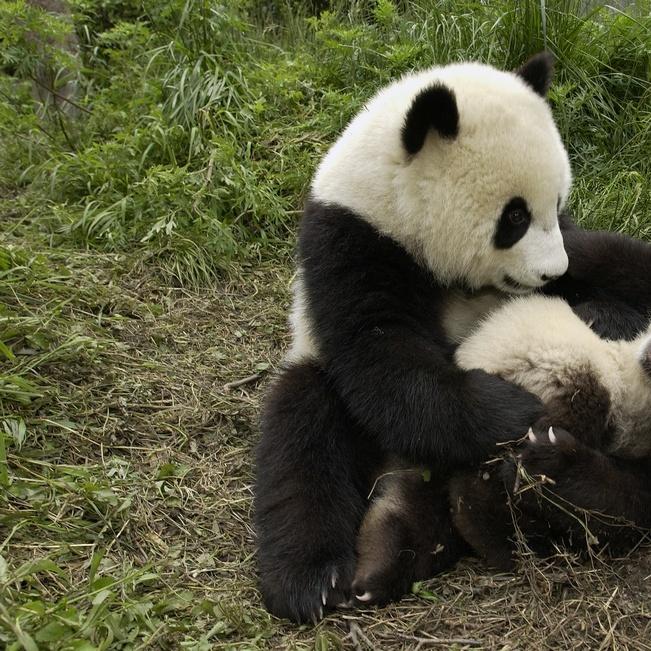 Giant Panda Cubs Playing Giant Panda adu...
