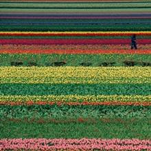 Living rainbow A man helps tend six million tulips at Keukenhof in the Netherlands