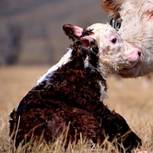 New born hereford, Montana