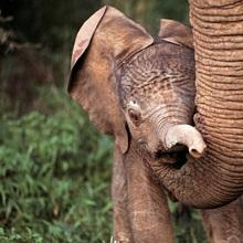 Newborn elephant by mother's trunk, Samburu Game Reserve, Kenya