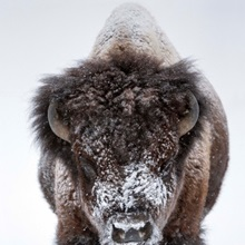 Portrait of an snow-dusted American bison