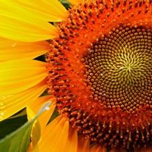 sunflower, Ellicott City, Maryland