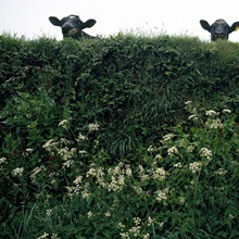 Three cows peer over a hedge garlanded with wildflowers, Cornwall, England