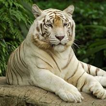Tiger (Panthera tigris), white morph, captive animal, Singapore
