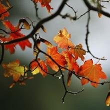 Vine maple leaves display bright autumn colors