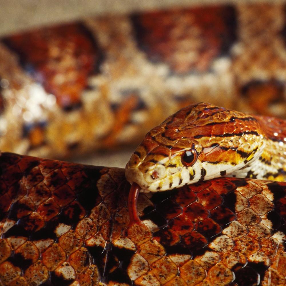 Calilfornia Corn Snake (Elaphe Guttata) Wall Art, Canvas