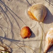 Close-up of a starfish and seashells on the beach, Dauphin Island, Alabama