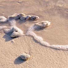 Conch shell on the beach, Grand Cayman, Cayman islands