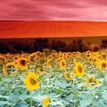 Sunflowers Corbada Spain
