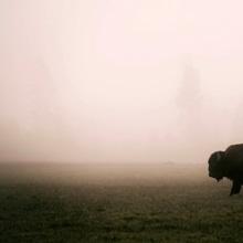 A Bison in Mist