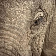 African Elephant eye