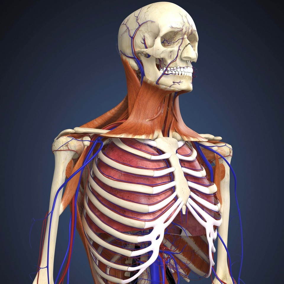 Human Upper Body Showing Bones Lungs And Circulatory System Wall
